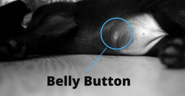 do dogs have a belly button