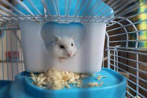 how long do hamster live