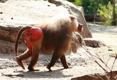 monkey with red buttocks