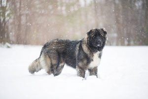 largest breed of dogs in the world