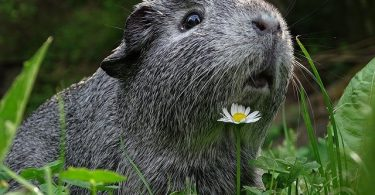 how long does guinea pigs live