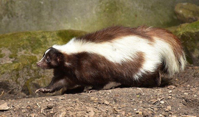 what do skunk eat