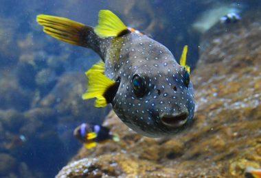 freshwater pufferfish