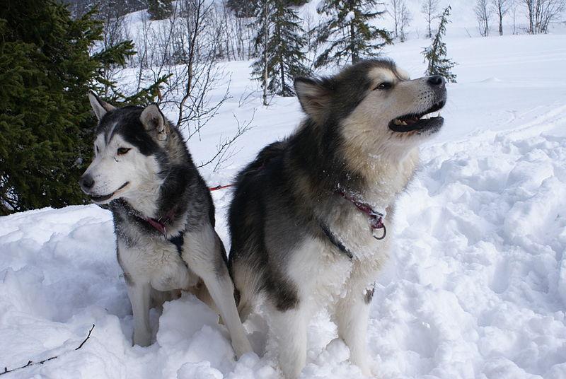 alaskan malamute vs husky