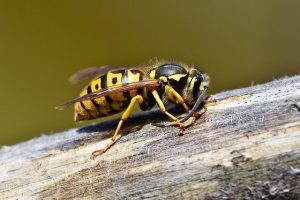 difference between hornet and wasp