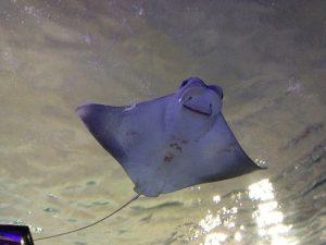 manta ray vs stingray