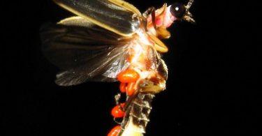 how do fireflies light up