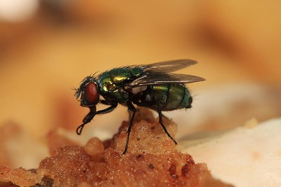 why do flies rub their s together