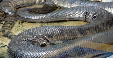 how big is the anaconda