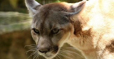Is a Cougar a Mountain Lion?
