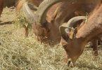 do sheep eat hay