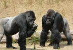 Why don't gorillas eat meat