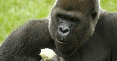 do gorillas eat banana