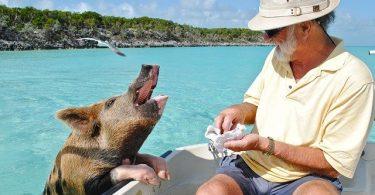 Do pigs bite humans