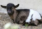 How long can a baby goat go without feeding?
