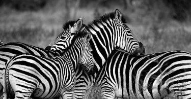 Do zebras sleep standing up